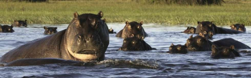 Hippos-in-botswana-1024x320