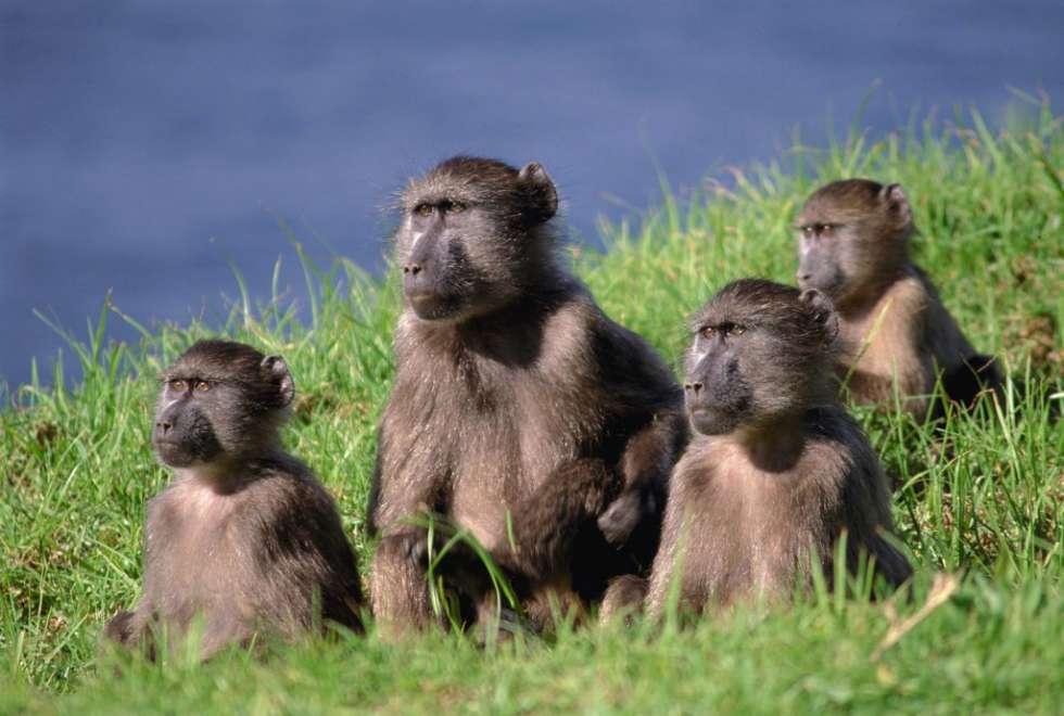 baboons-moremi-crossing-1024x690