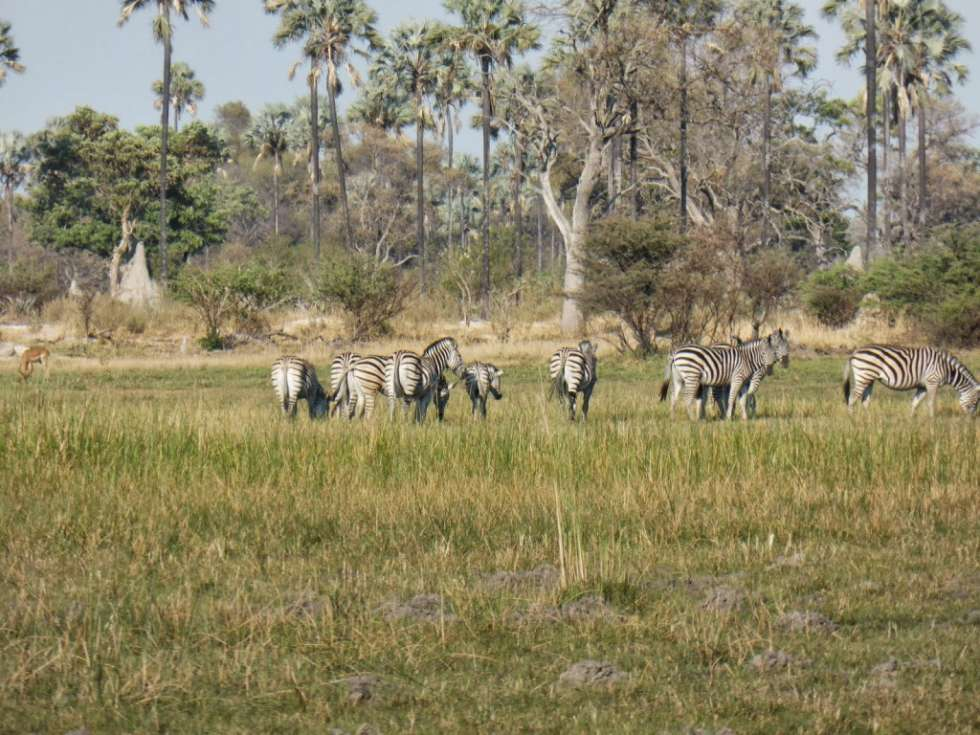 zebra-1024x768