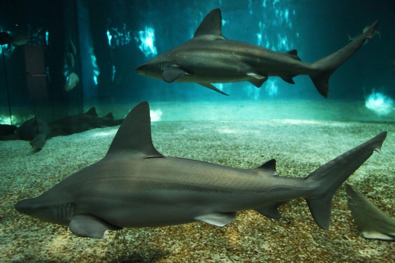 sharks at the acquario di genova