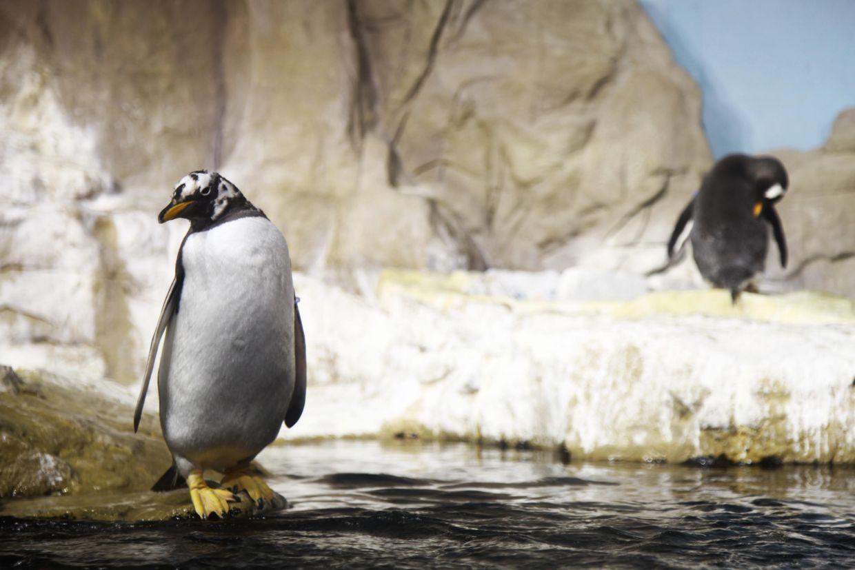 penguins inside the tank at the acquario di genova