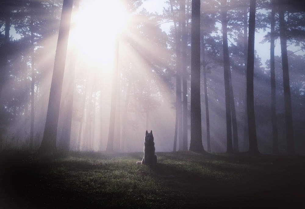 Wolf staring into the sun
